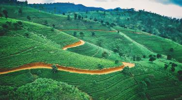 Sri Lanka tea plantation - view of green fields