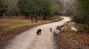 Pigs on a road